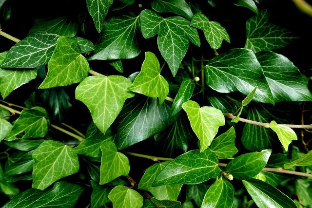 Ivy, Plant, Garden, Nature, Green, Climber