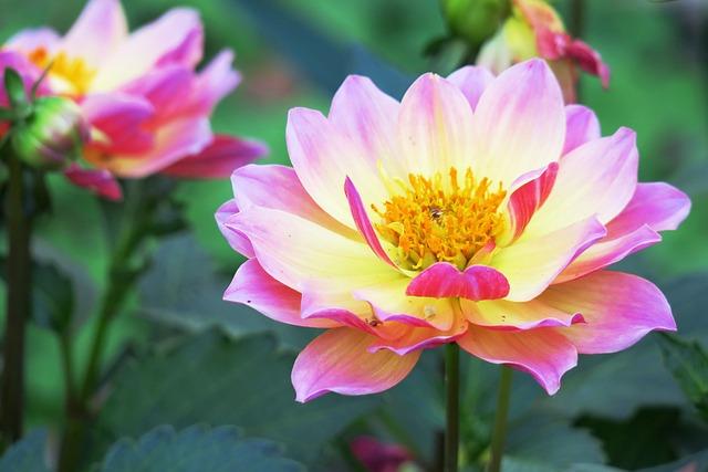 Flower, Nature, Plant, Garden, Summer, Peony, Outdoor
