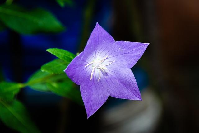 Bellflower Flower, Purple, Spring, Plants, Garden