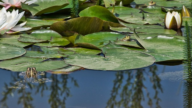 Frogs, Pond, Water Lily, Garden Pond, Green Frog