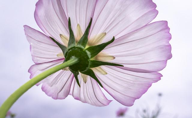 Cosmos Flower, Plants, Flowers, Purple, Garden