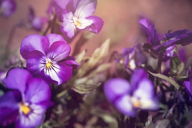 Pansy, Violet, Blue, Purple, Garden, In The Garden