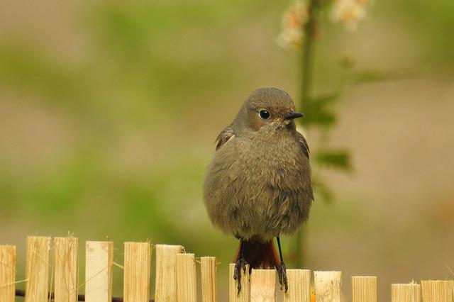 Rotschwaenzchen, Garden Redstarts, Animal World, Nature