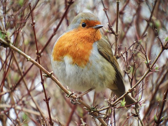 Robin, Bird, Nature, Red, Branch, Garden, Wild, Feather