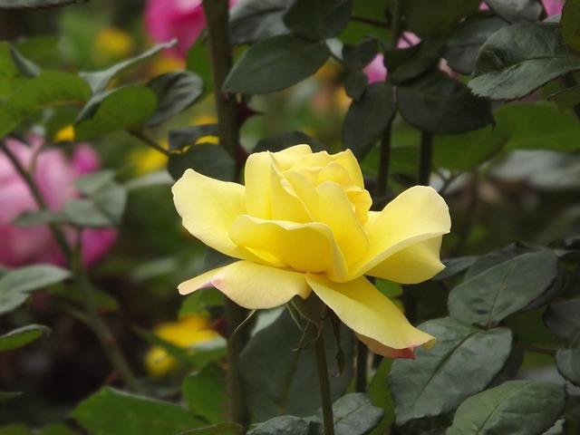 Flower, Flowers, Nature, Rosa, Garden, Color, Wild
