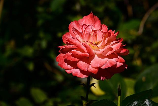Roses, Flower, Plant, Garden, Blossom, Bloom