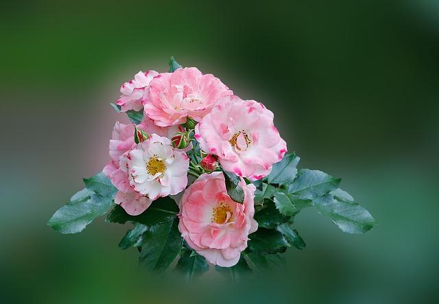 Rose, Pink, Rose Bloom, Garden Roses