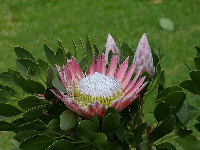 South Africa, Garden Route, Protea, King Protea, Flower