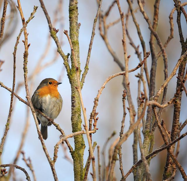 Robin, Songbird, Bird, Nature, Garden