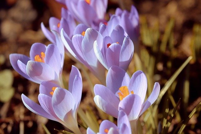 Crocus, Spring, Lenz, Early Bloomer, Violet, Garden