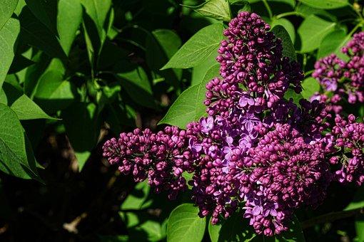 Nature, Lilac, Spring, Fliederblueten, Plant, Garden