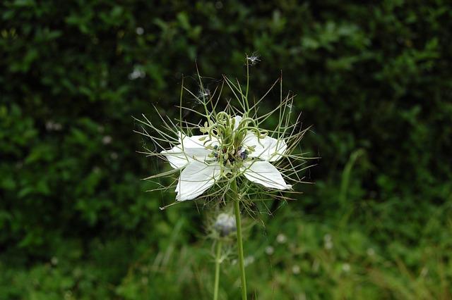 Flower, White, Nigella, Garden, Country, Wild, Spring