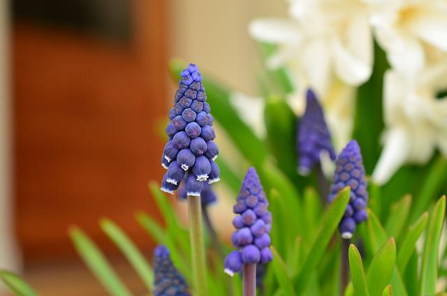 Grape Hyacinth, Hyacinth, Spring, Blue, Garden