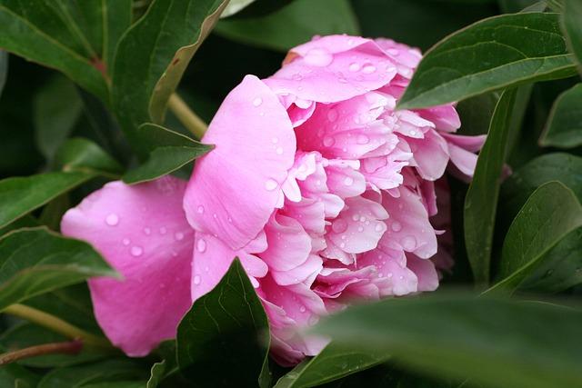 Flower, Peony, Pink, Garden, Flowering, Spring, Petals