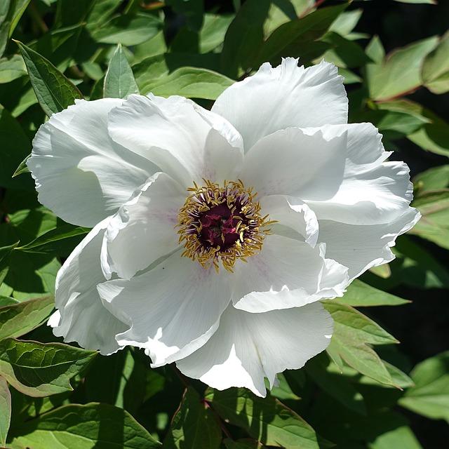Flower, Peony, White, Garden, Spring