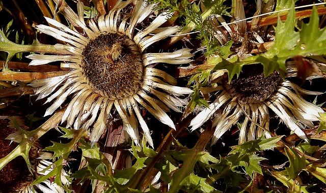 Stemless Carline Thistle, Asteraceae, Plants, Garden