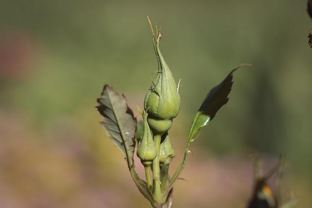Rose, Bud, Flower, Plant, Nature, Summer, Garden, Close