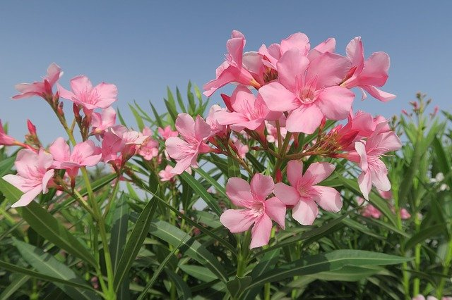 Flower, Nature, Plant, Summer, Garden, Oleander