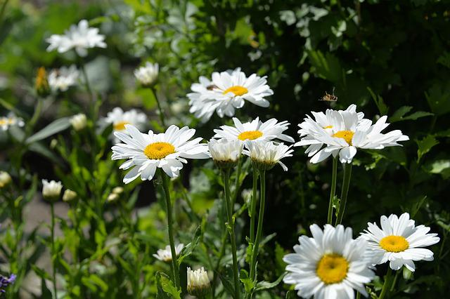 Daisies, White, Garden, Summer, Bloom