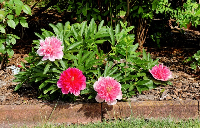 Flowers, Peony, Red, Pink, Sweet, Garden, Ornament