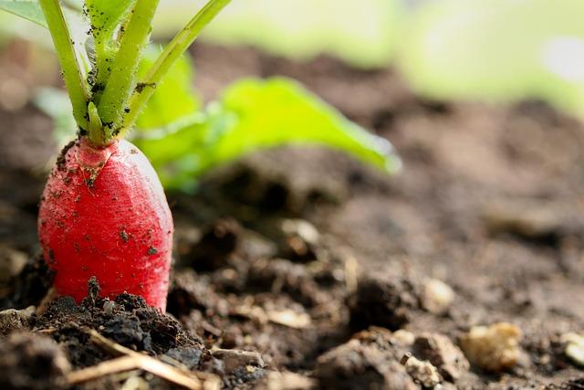 Radish, Vegetables, Garden, Cultivation