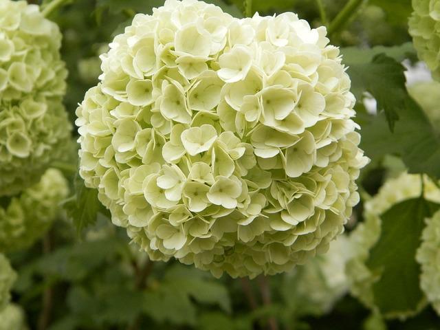 Viburnum, Flower, White, Blooms At, Garden
