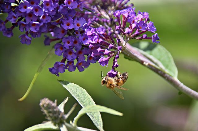 Butterfly Bush, Garden, Violet, Summer Lilac, Insect