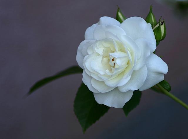Rose, White, Clear, Flower, Single, Garden, Rose Petals