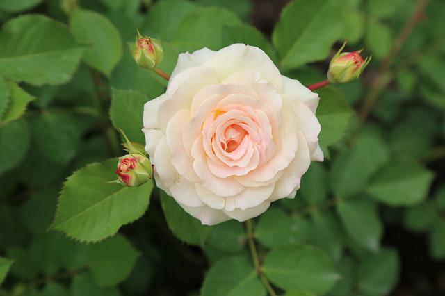 Rose, Whitish Rose, Roses, Garden