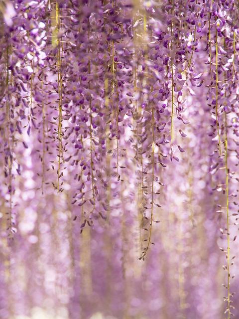 Flowers, Wisteria, Purple, Natural, Plant, Garden