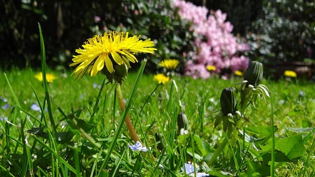 Meadow, Dandelion, Garden, Plant, Yellow