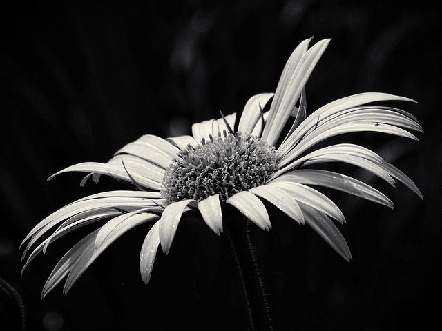 Beauty, Yellow Flower, Black And White, Flower, Garden