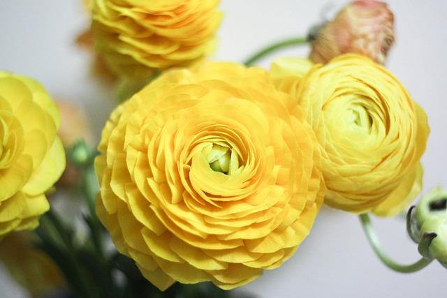 Rananculus, Flowers, Plant, Nature, Garden, Yellow