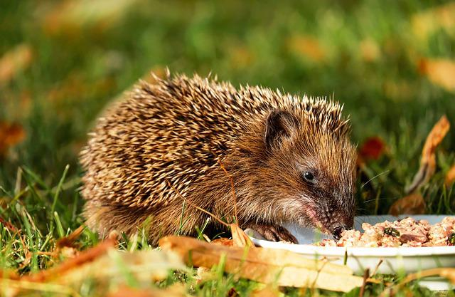 Hedgehog, Animal, Hannah, Young, Meal, Garden