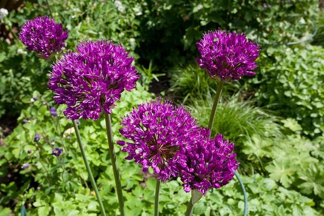 Flower, Plant, Nature, Alium, Garden, Leaf, Gardening