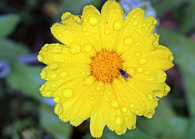 Marigold, Calendula, Yellow, Blossom, Bloom, Gardening