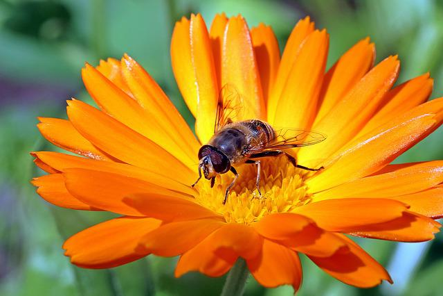 Marigold, Calendula, Orange, Blossom, Bloom, Gardening
