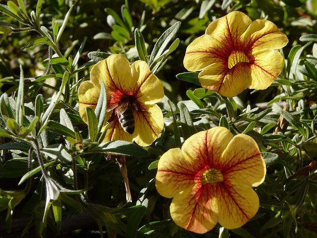 Petunia, Gardening, Flower, Bee, Yellow, Garden