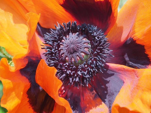 Poppy, Turkish Poppy, Oriental Poppy, Gardening Poppy