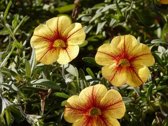 Petunia, Gardening, Flower, Yellow, Brindle, Garden