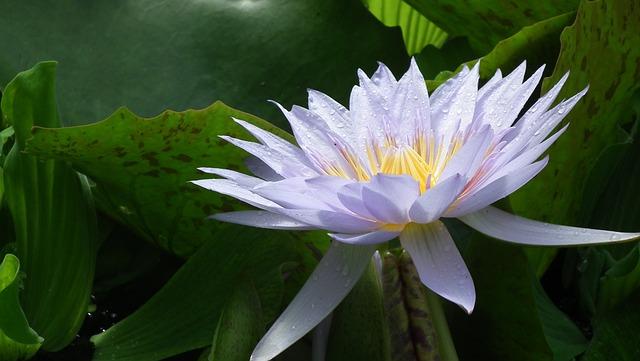 Lilac, Colored, Flower, Edinburgh, Botanical, Gardens
