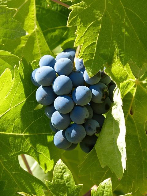 Grape, Garnatxa, Priorat, Garnacha, Vintage, Vine