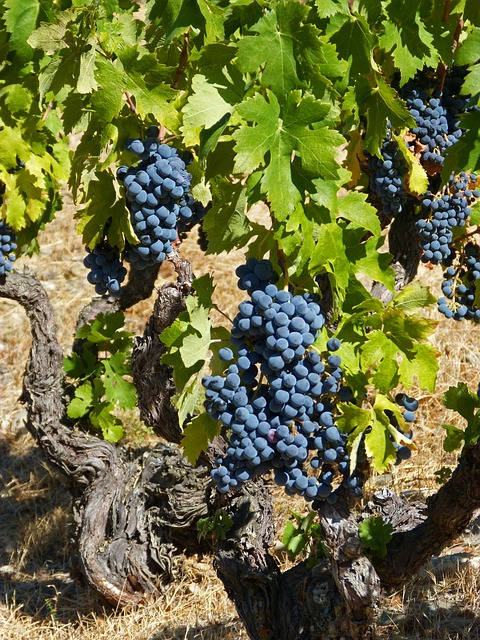 Vine, Priorat, Old Vineyard, Garnatxa, Vineyard, Slate