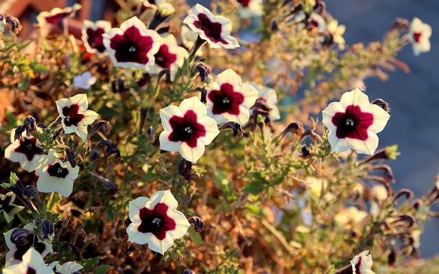 Petunia, Flower, Garnet-red, White