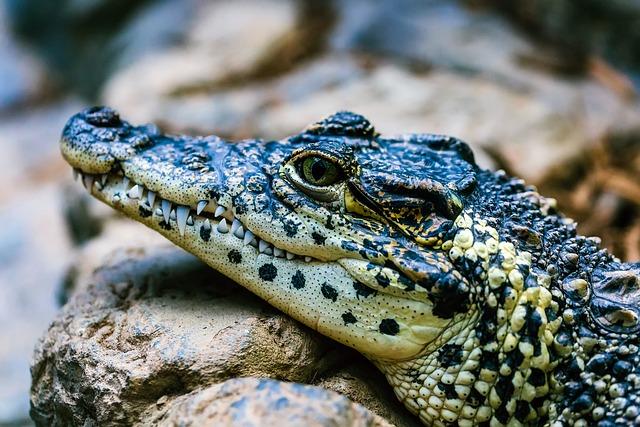 Alligator, Gator, Reptile, Wildlife, Crocodile