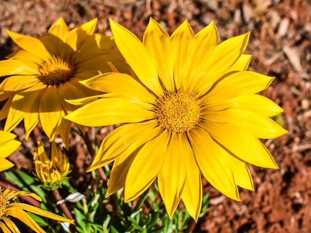 Gazania, Flower, Yellow, Nature, Plant, Garden, Flora