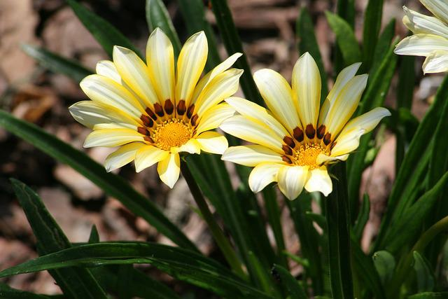 Gazania Flowers, Nature, Plant, Flower, Flowers, Garden
