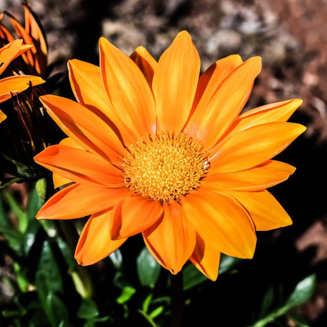 Gazania, Flower, Orange, Nature, Plant, Garden, Flora