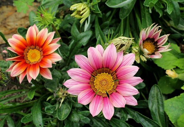 Gazanie, Flowers, Summer, Flower, Gazania, Figure