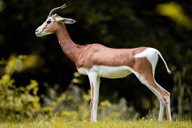 Gazelle, Africa, Animal, Safari, Antelope, Impala